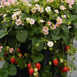 Strawberry frisan strawberry frisan produce lots of light pink flowers mightylinksfo