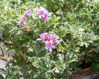 Scented Geranium Lady Plymouth